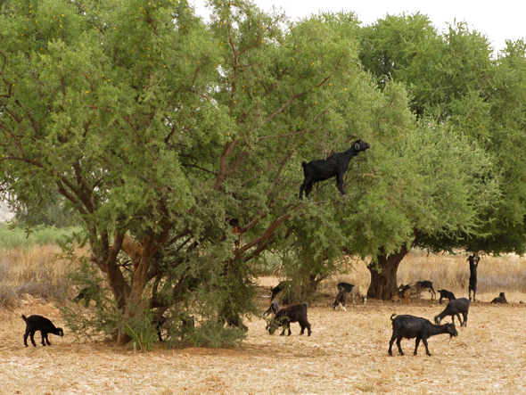 how to grow argan tree from seeds